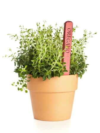 study about oregano An herb for thought: oregano an herb for thought: oregano march 03, 2018 a study of the minimum inhibitory concentration and mode of action of oregano.