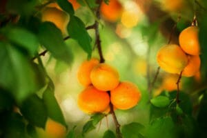 The Truth About The Toxicity Of Apricot Seeds